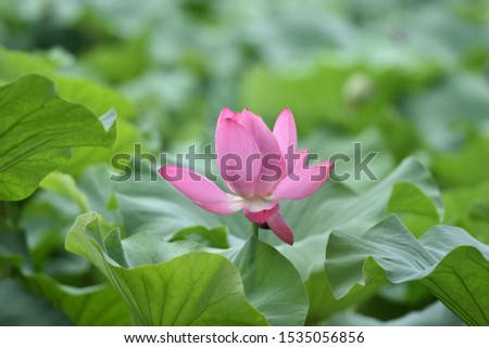 blooming lotus with green background #1535056856