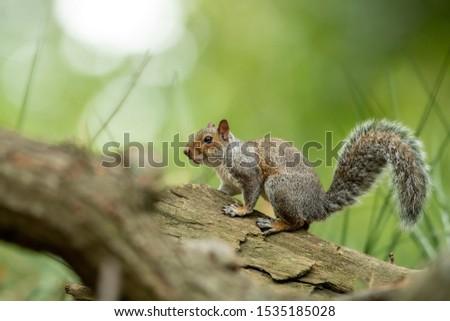 Grey squirrel in the natural environment, close up, natural habitat, wildlife, close up, Sciurus carolinensis, England, Canada, America, United States   #1535185028