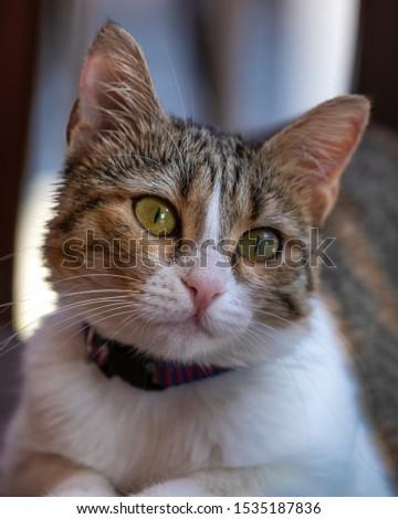 Portrait of a Beautiful Europian cat Rome Italy. #1535187836