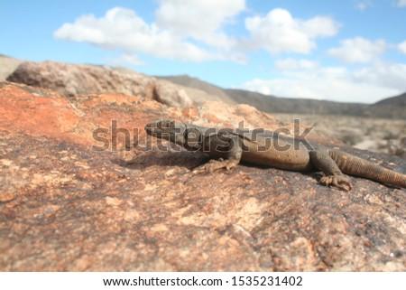 Lizard of the American Desert the Chuckwalla Lizard (Sauromalus ater) or Common Chuckwalla #1535231402