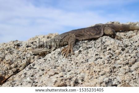 Lizard of the American Desert the Chuckwalla Lizard (Sauromalus ater) or Common Chuckwalla #1535231405