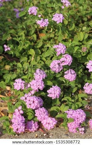 A lantana camara bush with purple, white and yellow flowers. 4036 #1535308772