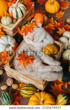 Scottish fold lies in basket. Cat and pumpkins. Cat and Autumn. A Yellow baby British shorthair kitty with halloween pumpkins at brown autumn background Royalty-Free Stock Photo #1535674937