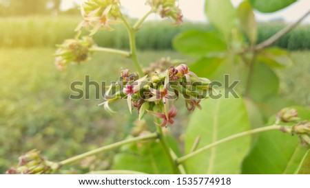 Guava or cashew flowers is a type of plant from the Anacardiaceae originating from Brazil and has an edible fruit #1535774918