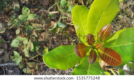 Guava or cashew leaf is a type of plant from the Anacardiaceae originating from Brazil and has an edible fruit #1535775248