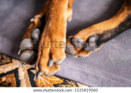brown paws of an adult dog lie on the bed #1535819060