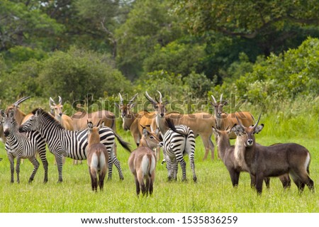 A mixed herd of herbivores is a common sight in the remote and unspoilt wilderness in the Katavi National Park Royalty-Free Stock Photo #1535836259