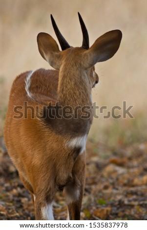 Portrait of an immature male Bushbuck #1535837978