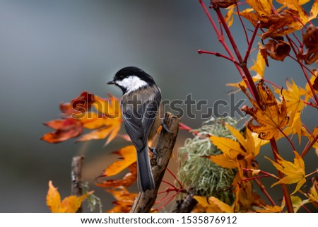 A Chestnut-backed Chickadee announces the arrival of autumn amid colorful maple leaves.  Chestnut-backed chickadees are small, beautifully colored with chocolate brown, and a delight in the back yard. #1535876912