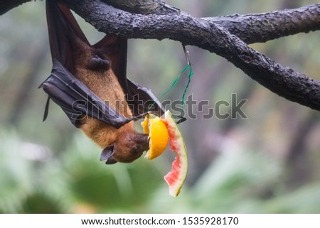 Fruit bat also known as flying fox with big leather wings hanging upside and down eating juicy orange and watermelon #1535928170