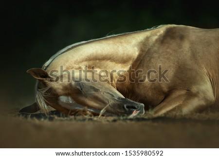 golden palomino akhal-teke horse sleeping on the pasture ground closeup on dark background #1535980592