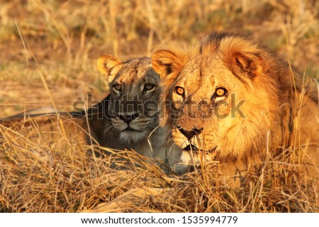 A pair of Lions (Panthera leo) lying together after coupling. Lions love in Zambia, South Luangwa. Beutiful lions pair. #1535994779