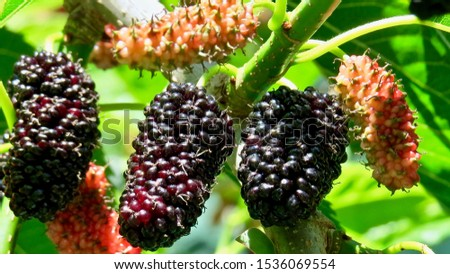 Mulberries ripening on the vine                                #1536069554