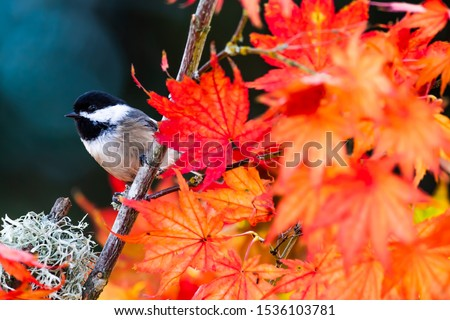 A Black-capped Chickadee announces autumn's arrival in a fiery orange maple tree.  Favorite backyard birds across America, Chickadees have a lilting song, bouncy flight, and endearing markings. #1536103781