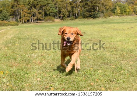 Golden Retriever on the meadow in sunny day #1536157205