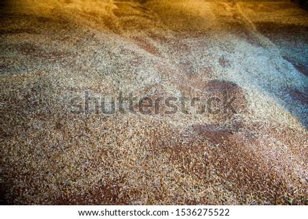 Pile of heaps of wheat grains at mill storage or grain elevator. #1536275522