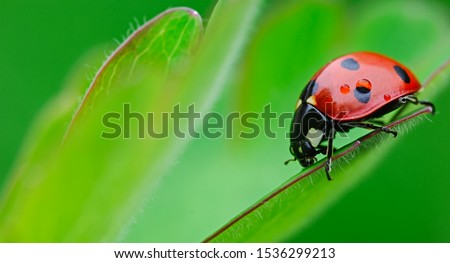 ladybug close-up with nature background, ladybug holding green leaf with legs. Royalty-Free Stock Photo #1536299213