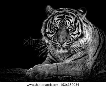 Tiger sitting in the jungle at night  #1536352034
