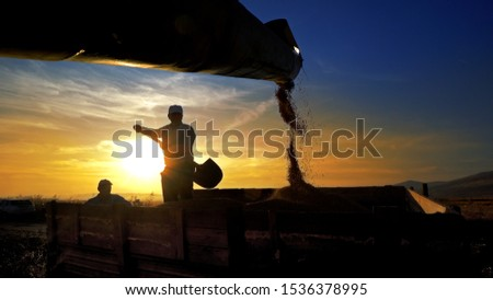 Combine harvester transferring freshly harvested wheat to tractor-trailer for transport at sunset #1536378995