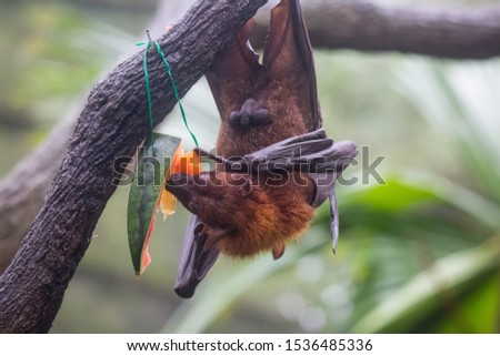 Fruit bat also known as flying fox with big leather wings hanging upside and down eating juicy orange and watermelon #1536485336