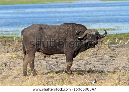 An old Buffalo bull spends most of his day grazing and wallowing out on the floodplains but usually makes for thicker bush at night time. #1536508547
