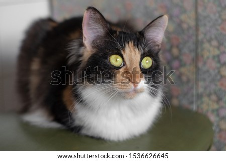 Longhair tricolor cat sits with wide open green eyes hiding its paws. #1536626645