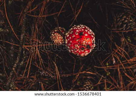Closeup of a group of fly agaric, fly amanita or amanita muscaria mushrooms in autumn. Two red white dotted poisonous mushrooms in green grass. Low angle shot. #1536678401