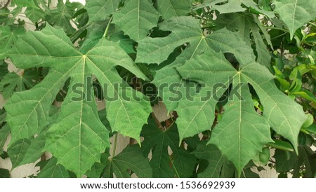 chaya leaf green foliage with abstract background #1536692939