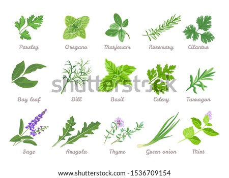 Set of herbs isolated. Green leaves of Parsley, Oregano, Marjoram, Cilantro, Celery, Bay leaf, Dill, Basil, Rosemary, Tarragon, Sage, Arugula, Green onion, Mint, Thyme. Vector cartoon illustration. #1536709154