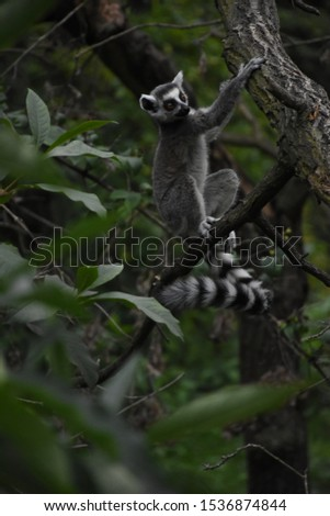 Beautiful pictures of lemur ring tailed