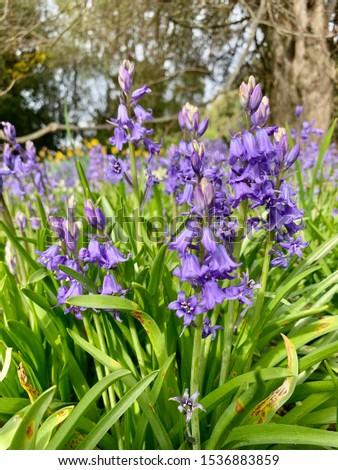 garden full of blue, purple and white bluebell flower in spring #1536883859