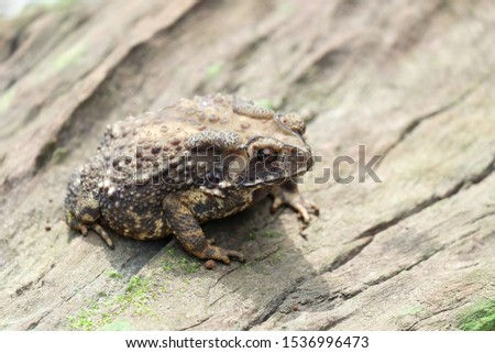 Toad (Bufonidae), Chanthaburi, Thailand. Big bony headed toad or Spadefoot frog or Buffalo toad. Amphibian animal closeup. Toad Asian brown on timber. #1536996473