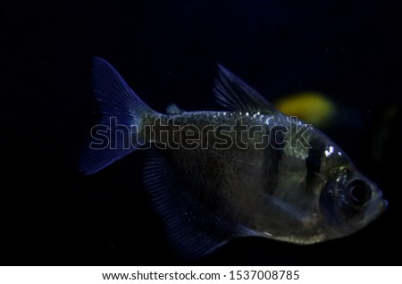 Silver dollar ornamental fish is a type of freshwater fish that looks like a piranha fish #1537008785