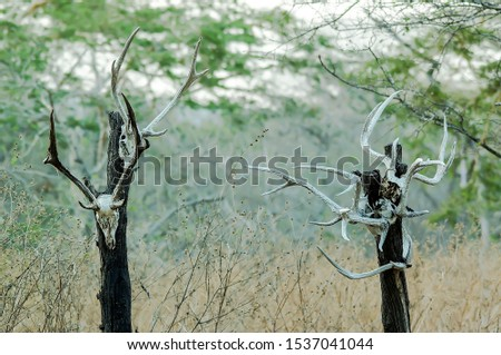 The skulls of deer animals hanging on trees are in the wilderness, traces of wild predators and natural predators. #1537041044