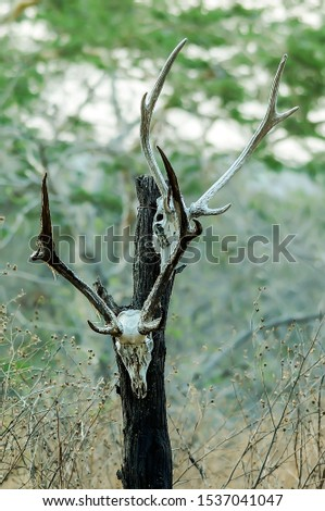 The skulls of deer animals hanging on trees are in the wilderness, traces of wild predators and natural predators. #1537041047