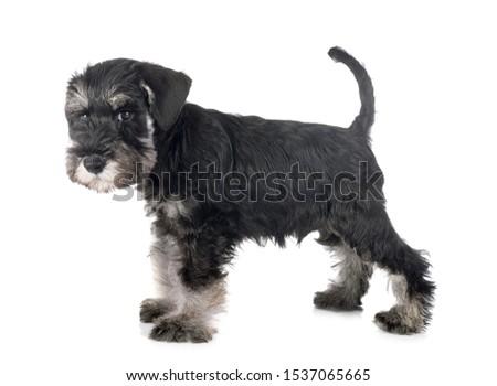 puppy miniature schnauzer in front of white background #1537065665