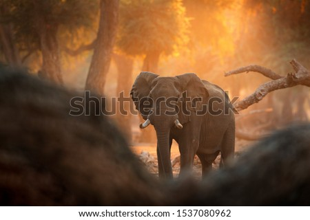 Elephant at Mana Pools NP, Zimbabwe in Africa. Big animal in the old forest, evening light, sun set. Magic wildlife scene in nature. African elephant in beautiful habitat. Art view in nature. #1537080962