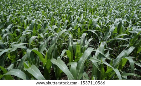 Corn plantations in East Java Probolinggo. East Java is one of the national corn barns in Indonesia #1537110566