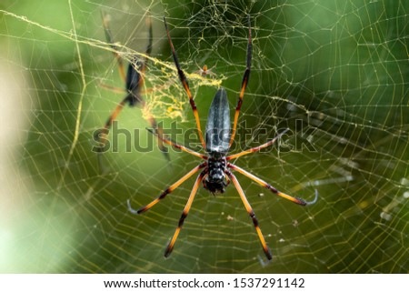 seychelles palm spider on web and green background #1537291142