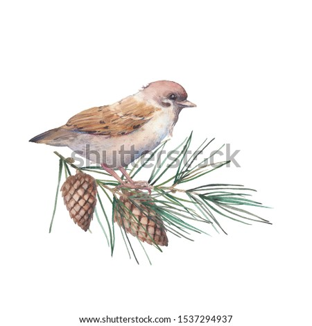 Watercolor Christmas iluustration with sparrow. Isolated winter artwork: bird and pine spruce. Clip art for greeting design