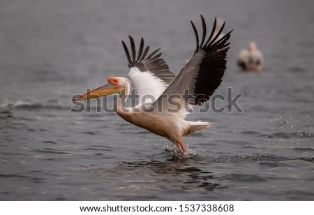 Pelicans in the Danube delta Romania. White pelicans flying in the Danube Delta Biosphere Reserve in Romania. Royalty-Free Stock Photo #1537338608