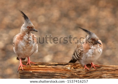 two identical looking crested pigeons #1537416257
