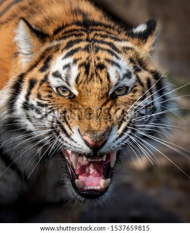 Close up view portrait of a Siberian tiger (Panthera tigris altaica) #1537659815