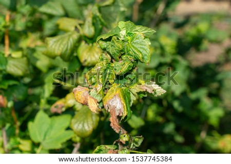 diseased leaves in spots of rotten blackcurrant. Protection against diseases and pests in  garden #1537745384