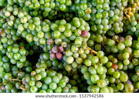 closeup of clusters of green sour grapes #1537942586