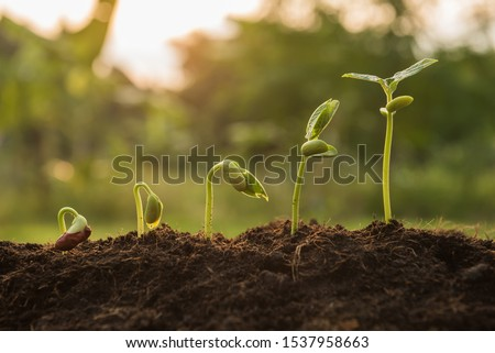 the seedling are growing from the rich soil to the morning sunlight that is shining, seedling, cultivation. agriculture, horticulture. plant growth evolution from seed to sapling, ecology concept. #1537958663