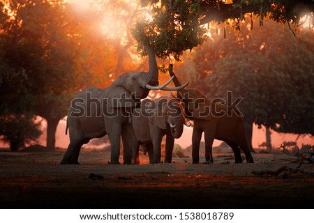 Elephant feeding feeding tree branch. Elephant at Mana Pools NP, Zimbabwe in Africa. Big animal in the old forest. evening light, sun set. Magic wildlife scene in nature.  #1538018789
