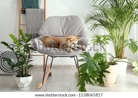 Cute Akita Inu dog on rocking chair in room with houseplants Royalty-Free Stock Photo #1538065817