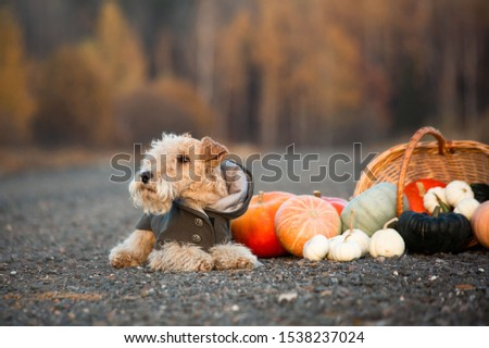 Lakeland Terrier dog in a trendy coat lies on a road in a field with a basket of pumpkins in autumn #1538237024