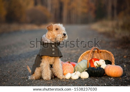 Lakeland Terrier dog in a trendy coat sits on a road in a field with a basket of pumpkins in autumn #1538237030
